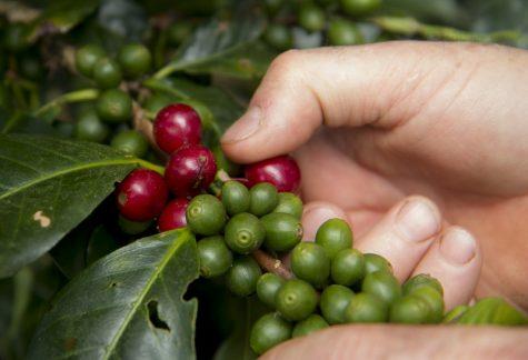 Kaffeebohnen an einer Rispe reifen unterschiedlich schnell